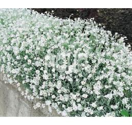 Cerastium tomentosum / Rožec plstnatý, K9