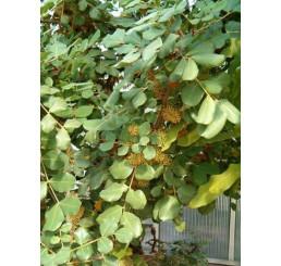 Ceratonia siliqua / Svätojánsky chlieb / Rohovník, 20-30 cm, K9
