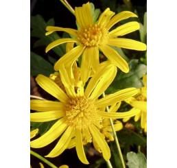 Euryops speciosissimus / Chrysantémovka žltá, bal. 6 ks sadbovačov