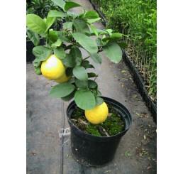 Obrovský citrón/ Citrus pyriformis ´Ponderosa´, 20 - 30 cm, K10