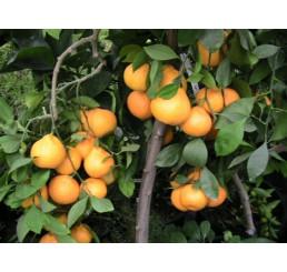 Citrus reticulata ´Carvalhais´ / Mandarínkovník štepený, 30 cm, C2
