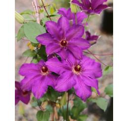Clematis ´Sir Gaarnet Volseley´ / Plamienok fialový, mladá r., K9