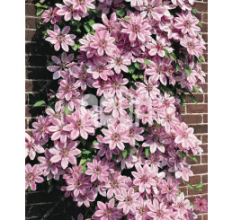 Clematis ´Nelly Moser´ / Plamienok ružový, 40 cm vyv., C2