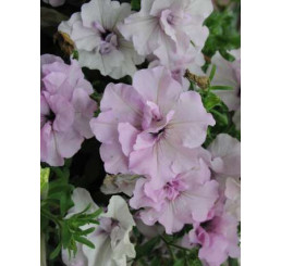 Petunia CONCHITA® ´Doble Pink´ / Petúnia, bal. 3 ks, 3x K7