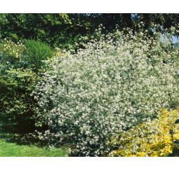 Crambe cordifolia / Katrán srdčitolistý, C1