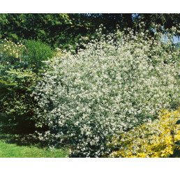 Crambe cordifolia / Katrán srdčitolistý, K9