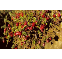 Vaccinium macrocarpon ´Red Star´ / Cranberry / Kľukva, C2
