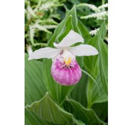 Cypripedium ´Regina´ / Papučková orchidea, kvetuschopná r., K12