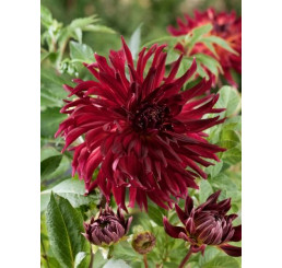 Dahlia ´Black Narcissus´/ Georgína, I.