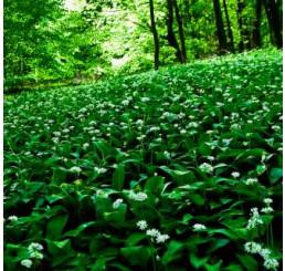 BIO Allium ursinum / Cesnak medvedí, K12