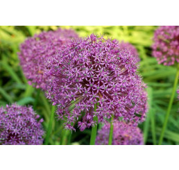 Allium Gladiator / Obrovský cesnak, bal. 1 ks, 20/22