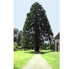 Sequoiadendron giganteum / Sekvojovec obrovský, 30-40 cm, C2