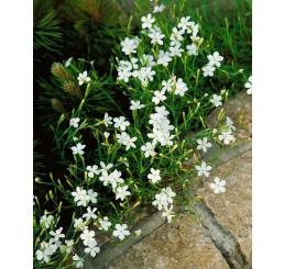Dianthus deltoides ´Albus´ / Klinček slzičkový, K9