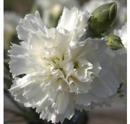 Dianthus ´Perfume Pinks® ´Memories´ / Voňavý klinček, bal. 3 ks, 3x K7