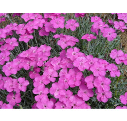 Dianthus 'Babí Lom' / Klinček, C1