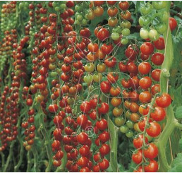 Rajčiny cherry Dolce Vita F1, prirodzene rezistentné, štepená rastlina, K12