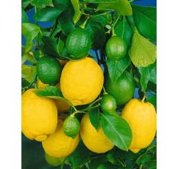Citrus limon ´Dorshapo´ / Citrónovník, 25-40 cm, C2