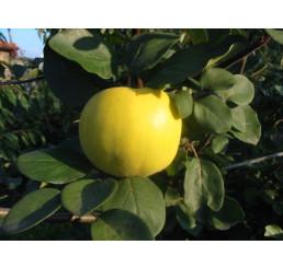 Cydora robusta RONDA  / Dula jablková, dulaMC