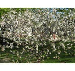 Prunus avium ´Regina´ / Čerešňa, Gisela 5
