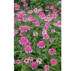 Echinacea purpurea ´Razzmatazz´- Echinacea purpurová, K14