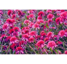 Echinacea purpurea ´Southern Belle (R)´ / Rudbekia, C2