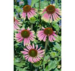 Echinacea purpurea ´Green Envy´ / Echinacea, C2