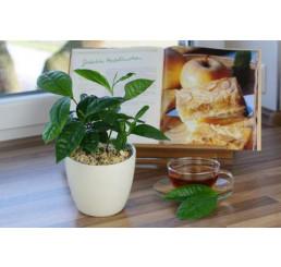 BIO Camelia sinensis / Pravý čínsky čajovník, 10-15 cm, K12