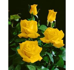 Rosa ´Casanova´ / Ruža čajohybrid žltá, krík, BK