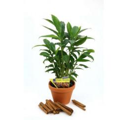 BIO Elettaria cardamonum / Kardamón so škoricovou arómou, 20-30 cm, K12