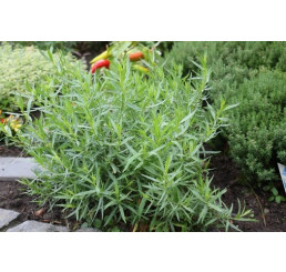 BIO Artemisia dracunculus / Francúsky estragon, K12