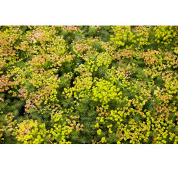 Euphorbia seguieriana ssp. Niciciana´ / Mliečnik, C1