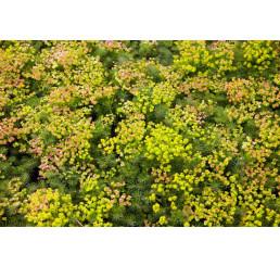 Euphorbia seguieriana ssp. Niciciana´ / Mliečnik, K9