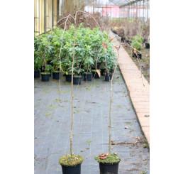 Fagus sylvatica ´Purpurea Pendula´ / Buk lesný previsnutý purpurovo-červený, 120-150 cm, C3