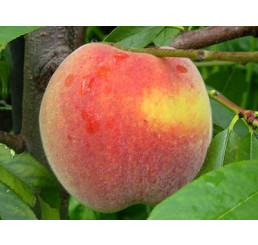 Prunus persica ´Fairhaven´ / Broskyňa stredne skorá, GF677