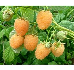Rubus idaeus ´Fallgold´ / Malina žltá, C2