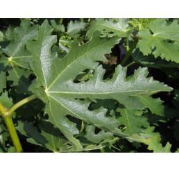 Ficus carica ´Ice Crystal´ / Figovník, 30-40 cm, K13