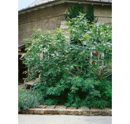 Ficus carica ´Turca´ / Čiernoplodý figovník, 100-120 cm, C7
