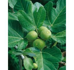 Ficus carica ´Verdino´ / Figovník, 100-120 cm, C7