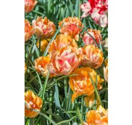 Tulipa ´Foxy Foxtrot´ / Tulipán, bal. 5 ks, 11/12