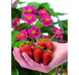 Fragaria ´Toscana®´ / Staleplodiaca jahoda s ružovými kvetmi, K11