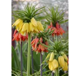 Fritillaria imperialis ´Lutea Maxima´ / Cisárska koruna žltá, 24/+