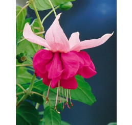 Fuchsia ´Seventh Heaven´ / Fuksia, K7