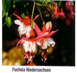 Fuchsia ´Niedersachsen´ / Fuchsia previsnutá ružová, bal. 6 ks, 6x K7