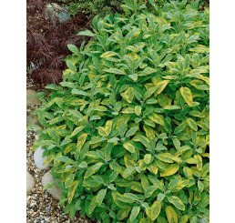 Salvia officinalis ´Aurea´ / Šalvia lekárska, K9