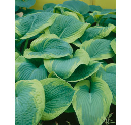 Hosta ´Frances Williams´ / Hosta / Funkia, C1