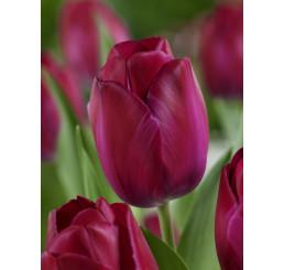 Tulipa ´Attila´ / Tulipán, bal. 5 ks, 11/12