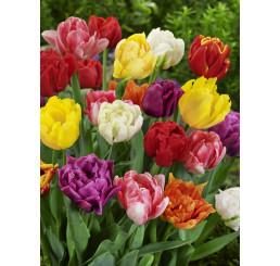 Tulipa double mix / Zmes plnokvetých tulipánov, bal. 20 ks, 11/12