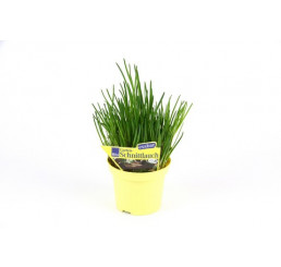 Allium schoenoprasum / Cesnak pažítkový / Pažítka, K9