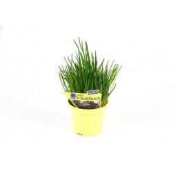 Allium schoenoprasum / Cesnak pažítkový / Pažítka, K12