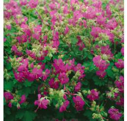 Geranium cantabrigiense ´Karmina´/ Pakost tmavoružový, K9